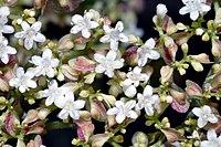 Patrinia villosa - blossoms (aka)