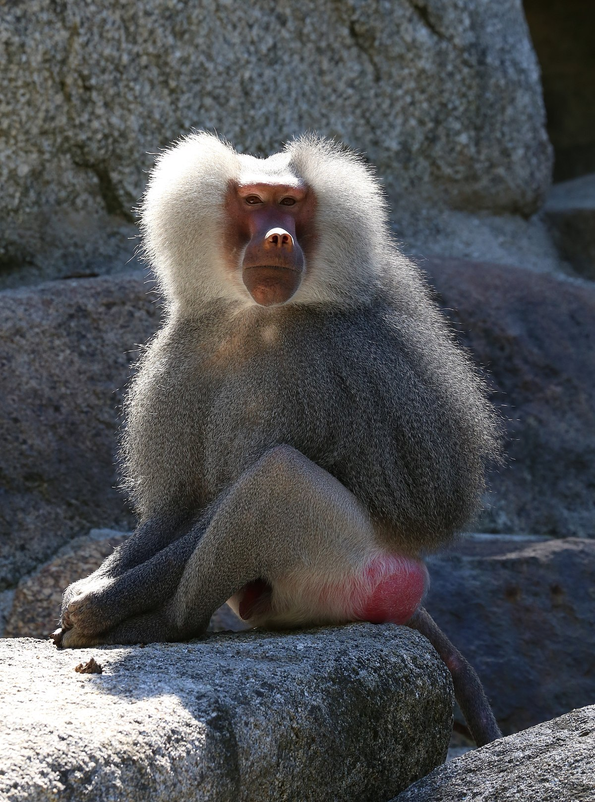 A Baboons But Hamadryas baboo...