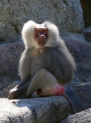 Hamadryas baboon - Male at Tierpark Hellabrunn