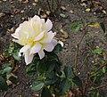 Peacekeeper rose harbella.JPG