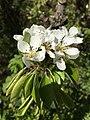 Pear blossom 2020.jpg