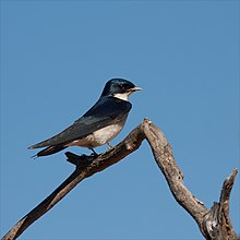Pearl-breasted Swallow by CraigAdam.jpg