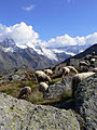 Pecore in Paradiso 11.JPG
