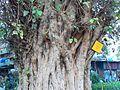 Peepal (Hindi- पीपल) (372117597).jpg
