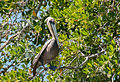 Pelican in mangrove, Margarita island.jpg