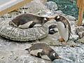 Penguins on nest.jpg