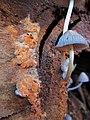 Peniophora incarnata (Oranjerode schorszwam) at just cutted beechtrees at Hoge Erf Schaarsbergen - panoramio.jpg