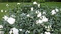 Peonies in cultivation.JPG