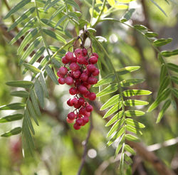 Peppercorns02.jpg