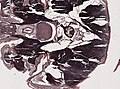 Periplaneta americana (YPM IZ 098956) 004.jpeg