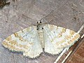 Perizoma albulata - Grass rivulet - Ларенция погремковая (27086073428).jpg
