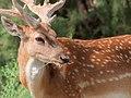 Persian fallow deer.jpg
