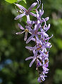 Petrea volubilis (Queen's Wreath, Purple Wreath) in Hyderabad, AP W IMG 9589.jpg