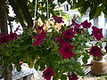 Petunia × atkinsiana (3).jpg