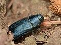Phaenops cyaneus1.jpg