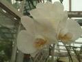 Phalaenopsis amabilis.jpg