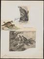 Phaps chalcoptera - 1700-1880 - Print - Iconographia Zoologica - Special Collections University of Amsterdam - UBA01 IZ15600273.tif