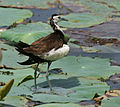 Pheasant-tailed Jacana (Hydrophasianus chirurgus)- Breeding- after bath in an Indian Lotus (Nelumbo nucifera) Pond in Hyderabad, AP W IMG 7877.jpg
