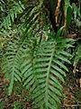 Phlebodium aureum( Pteridophyte ).jpg