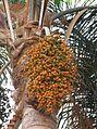 Phoenix dactylifera - Madeira 2.jpg