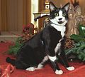 Photograph of Socks the Cat Standing Alongside Christmas Decorations in the White House- 12-05-1993 (6461505161) (cropped).jpg