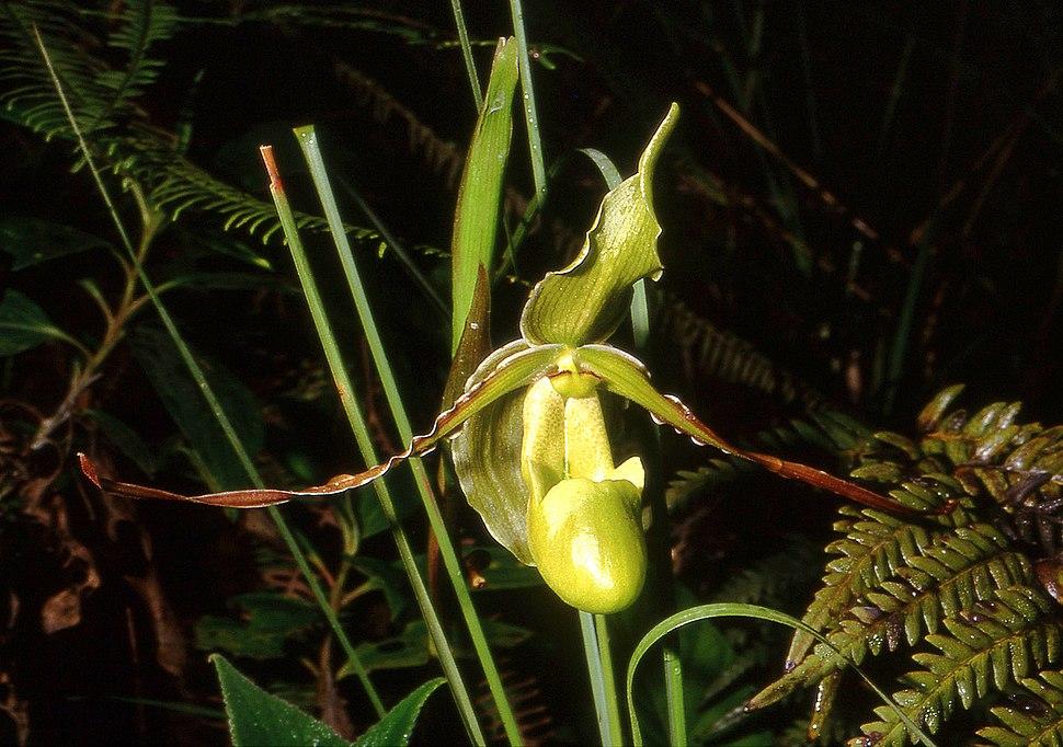 Phragmipedilum longifolium Orchi 02