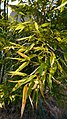 Phyllostachys edulis leaves after a hard winter in Washington State.jpg