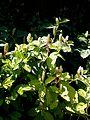 Phytolacca acinosa plant.jpg