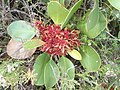 Phytoplasma on Protea cynaroides Hottentots Holland 01.jpg