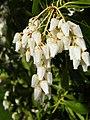 Pieris japonica.jpg