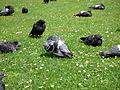 Pigeons 6 2012-07-08.jpg