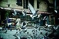 Pigeons taking off.jpg