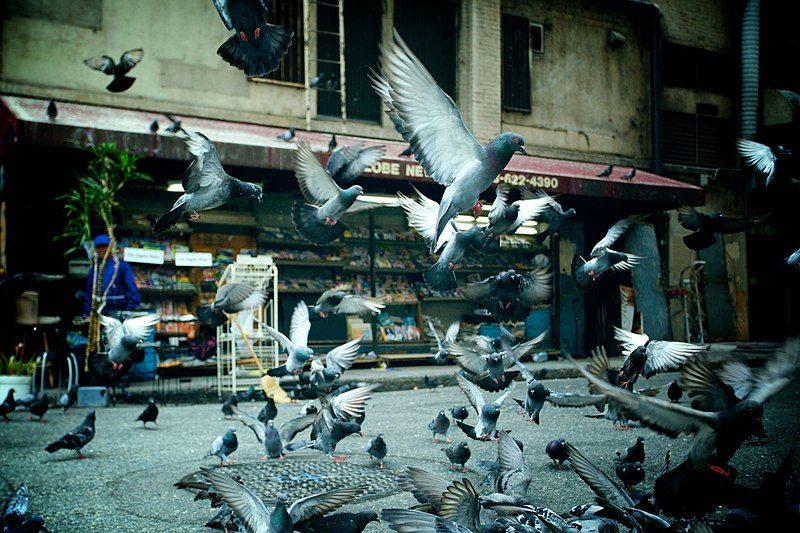 File:Pigeons taking off.jpg