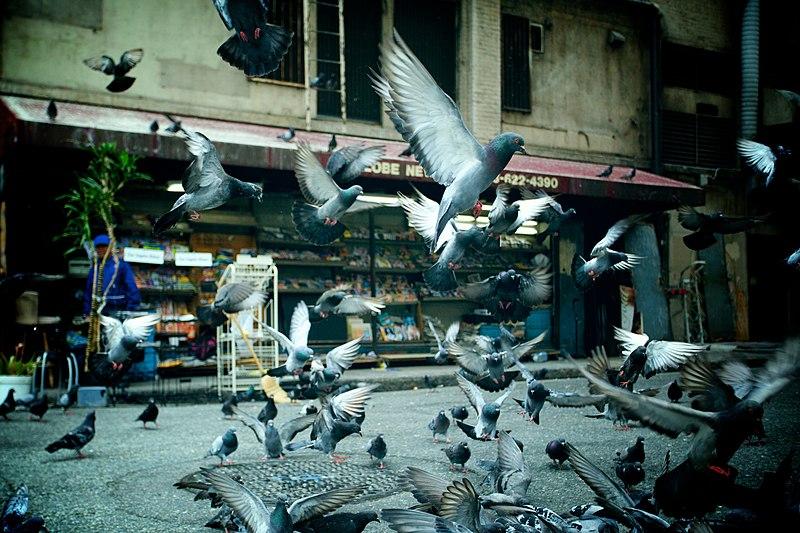 File:Pigeons taking off.jpg
