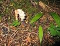 Pine Sap (Monotropa hypopitys) on the way to Talapus Lake (2917796180).jpg