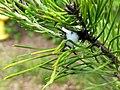 Pine Spittlebug Nymph.jpg
