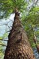 Pine Trail (3) (13982132543).jpg