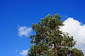 Pine against the sky & clouds (9673480412).jpg