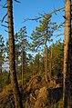 Pini - panoramio (2).jpg