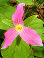 Pink Trillium.jpg