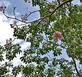 Pink Trumpet Tree (Tabebuia impetiginosa) flowering tree in Hyderabad, AP W 298.jpg