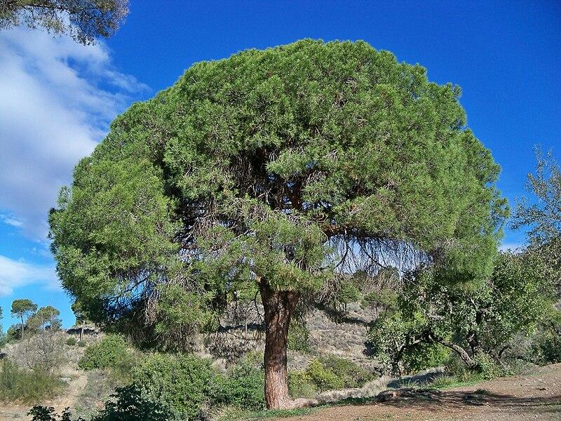 Archivo:Pino carrasco (15757230892).jpg
