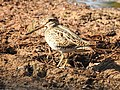 Pintail snipe-from kattampally wetland - 6.jpg