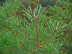 Pinus sylvestris 004.JPG