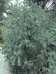 Pinus Quadrifolia Wikipedia