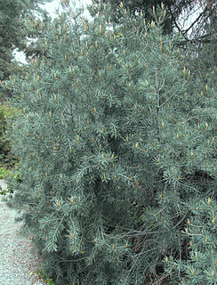 <i>Pinus quadrifolia</i> species of plant
