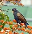 Pionus chalcopterus (Cotorra maicera) - Flickr - Alejandro Bayer (10).jpg