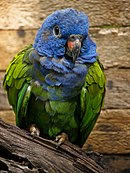 A green parrot with a blue head and dark-grey eye-spots