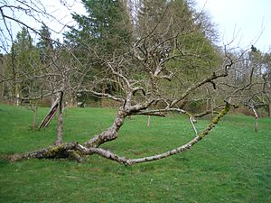Carkeek Park - A century-old apple tree in Piper Orchard