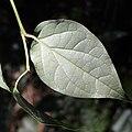 Piper kadsura (leaf s3).jpg